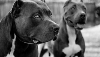 Foto: Perros encerrados matan a su dueña en Texas, se trataba de dos pit bull terriers marzo 24 de 2019 (Archivo/ Pinterest: Wallpaper Canyon)
