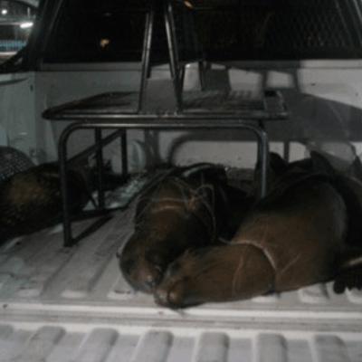 Profepa presenta denuncia por muerte de lobos marinos en BCS