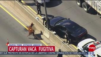 Foto: Vaca Fugitiva Caos Carretera Nueva York, 19 de Marzo 2019
