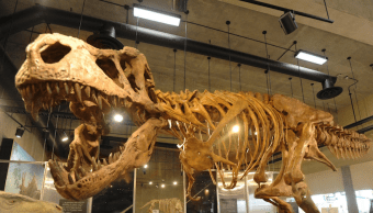 Foto Presentan el fósil de T-Rex más grande del mundo 2 abril 2019