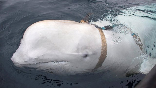Foto: Pescadores noruegos hallaron una ballena beluga portando un arnés ruso