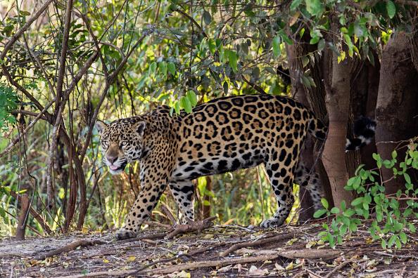 Por primera vez, avistan jaguar en bosques de Tlalixtac, en Oaxaca