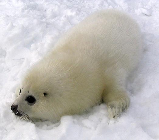 La temporada de focas en Canadá comienza desde noviembre, cuando las focas hembra llegan a las costas del este de Canadá para dar a luz a sus crías (Matthieu Godbout/Wikimeda Commons/CC BY-SA 3.0)