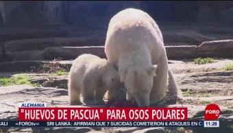 Osos polares reciben 'huevos de Pascua' en zoológico de Alemania