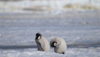 foto Mueren miles de pingüinos bebé por el cambio climático 25 abril 2019