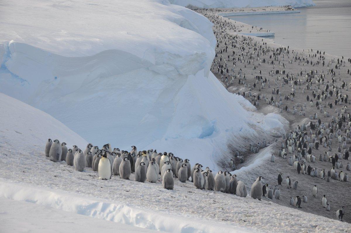 foto pinguinos emperador antartida