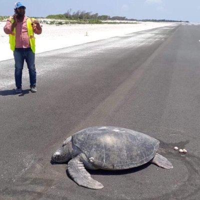 Tortuga sale del mar a desovar y en lugar de playa se topa con un aeropuerto
