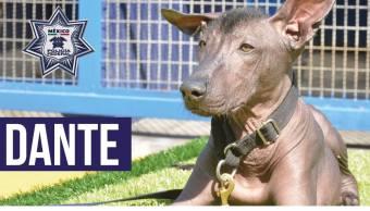 Perro-policia-unidad-canina-xoloitzcuintle-Dante