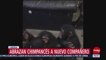 FOTO: Abrazan chimpancés a nuevo compañero, 25 MAYO 2019