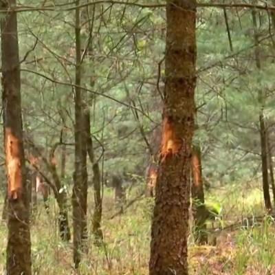Reportan árboles marcados en el Desierto de los Leones; advierten posible tala