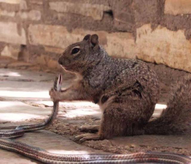 Ardilla devora a una serpiente