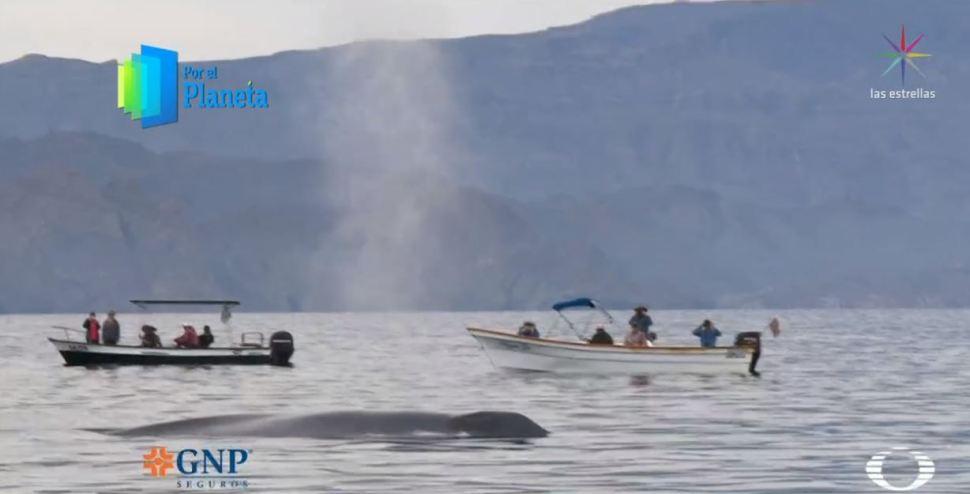 Foto Ballena azul, un gigante del mar que se avista en México 3 mayo 2019