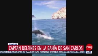 Foto: Captan delfines en la bahía de San Carlos en Sonora