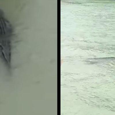 Video: Alerta por cocodrilo a orillas del río Bravo