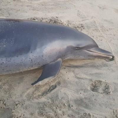 Revelan causa de muerte de delfín hallado en playa de Puerto Escondido