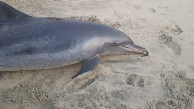 Foto: delfín muerto en playa Zicatela, Oaxaca. 26 de abril 2019. Twitter @TelevisaOaxaca