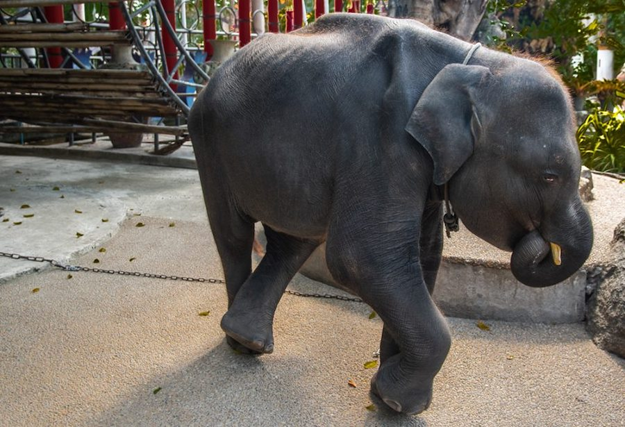 Foto Muere elefante bebé que era obligado a bailar en un zoológico 23 mayo 2019