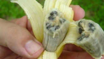 Foto: Plátano silvestre de semillas grandes. FusariumWilt