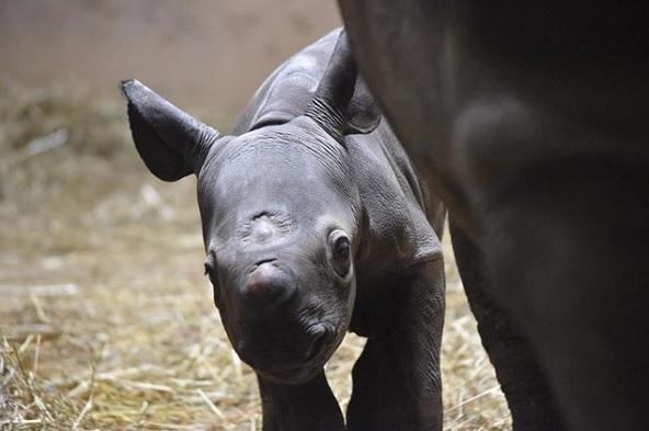Foto: Cría de rinoceronte negro del zoológico Lincoln Park de Chicago, Estados Unidos. El 21 de mayo de 2019