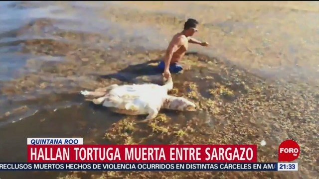 Foto: Tortuga Muerta Sargazo Quintana Roo 27 Mayo 2019