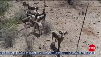 Foto: Liberan Borregos Cimarrones Sonora 23 Mayo 2019