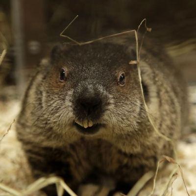 Muere pareja por peste bubónica tras comer marmota cruda