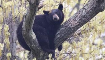 Foto: La Policía captura a un oso que merodeaba en la población de Arlington, 17 mayo 2019