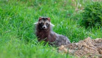 Foto lanzan alerta por presencia de perros mapaches 31 mayo 2019