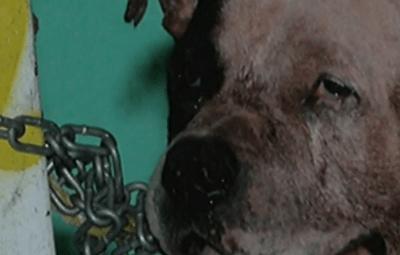 Pitbull mata a hombre que entró a robar casa en Guadalajara