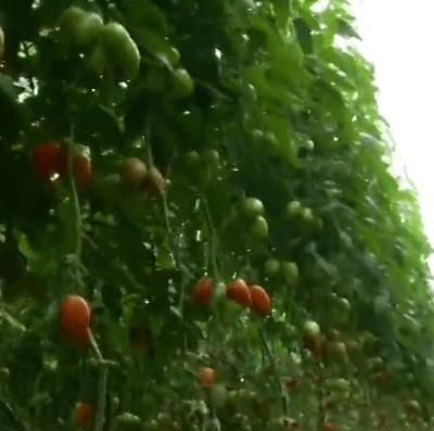 México busca nuevo acuerdo para exportación de tomate a EU
