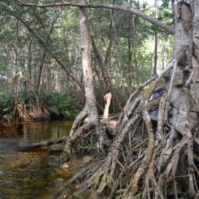 Rehabilitan 650 hectáreas de manglares en Yucatán