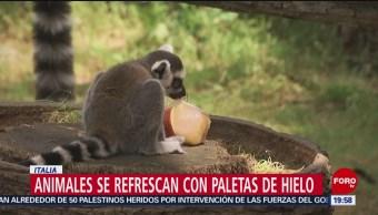 FOTO: Animales de zoológico en Roma son alimentados con paletas de hielo, 15 Junio 2019