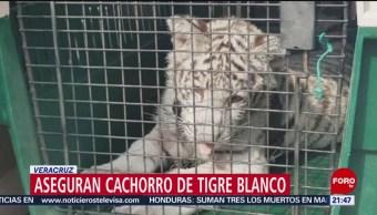 FOTO: Aseguran cachorro de tigre durante cateo en Veracruz, 22 Junio 2019