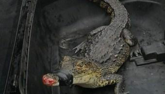 Cría de cocodrilo sorprende a vecinos de San Juan del Río, Querétaro