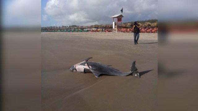Foto: Hallan delfín muerto en la Playa Miramar en Madero, Tamaulipas, 6 junio 2019