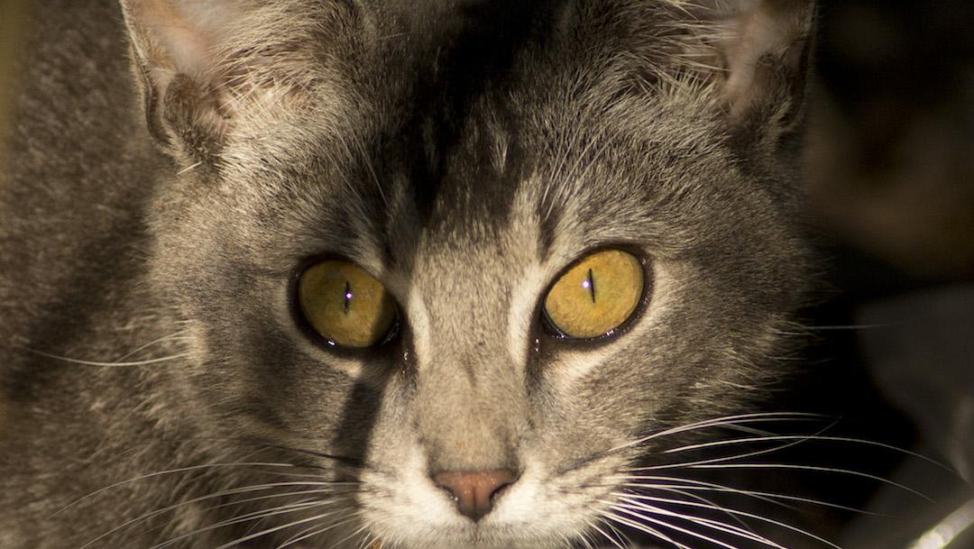 Gato-zorro-especie-felino-Corcega-Francia