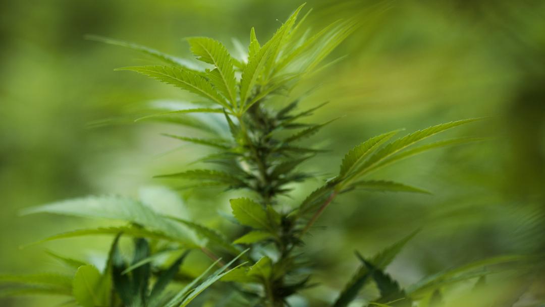 foto Encuentran en Asia las formas más antiguas de uso del cannabis 17 junio 2019