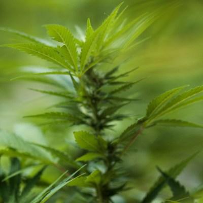 Encuentran en Asia las formas más antiguas de uso del cannabis