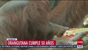 FOTO: La orangutana Nénette celebra su cumpleaños 50 en París, 16 Junio 2019