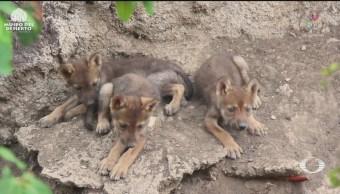 Foto: Nacen Tres Cachorros Lobo Gris Coahuila 12 Junio 2019