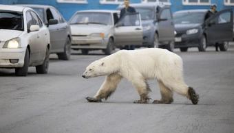 Foto Oso Polar Rusia 18 Junio 2019