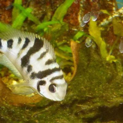 Estos peces se deprimen cuando se separan de su pareja