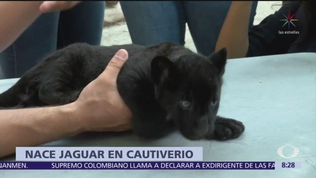 Presentan al público a jaguar negro del Zoológico de Culiacán