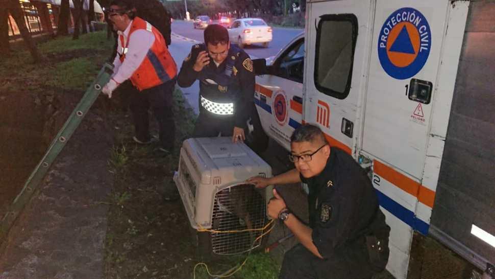 Foto Rescatan a pitbull que cayó a respiradero del Metro Potrero 26 junio 2019