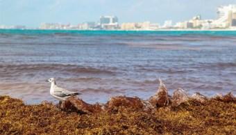 Foto: Operativo contra sargazo en costas de Yucatán, 4 de junio 2019. EFE
