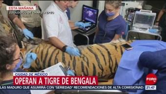FOTO: Zoológico de Chapultepec opera a tigre de bengala, 22 Junio 2019