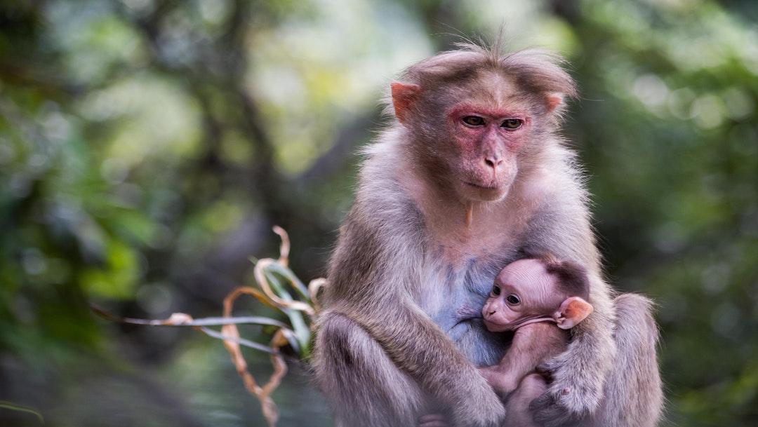 Primates en peligro de extinción: 7 especies en lista roja