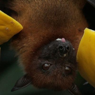 Tequila salva a murciélagos maguyeros de la extinción