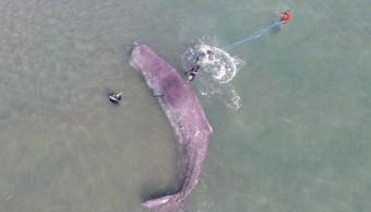 """Foto: Rescatan a cachalote que se encontraba varado en inmediaciones de Punta """"El Mogote"""", en Baja California Sur, julio 6 de 2019 (Twitter: @ElSudcalif)"""