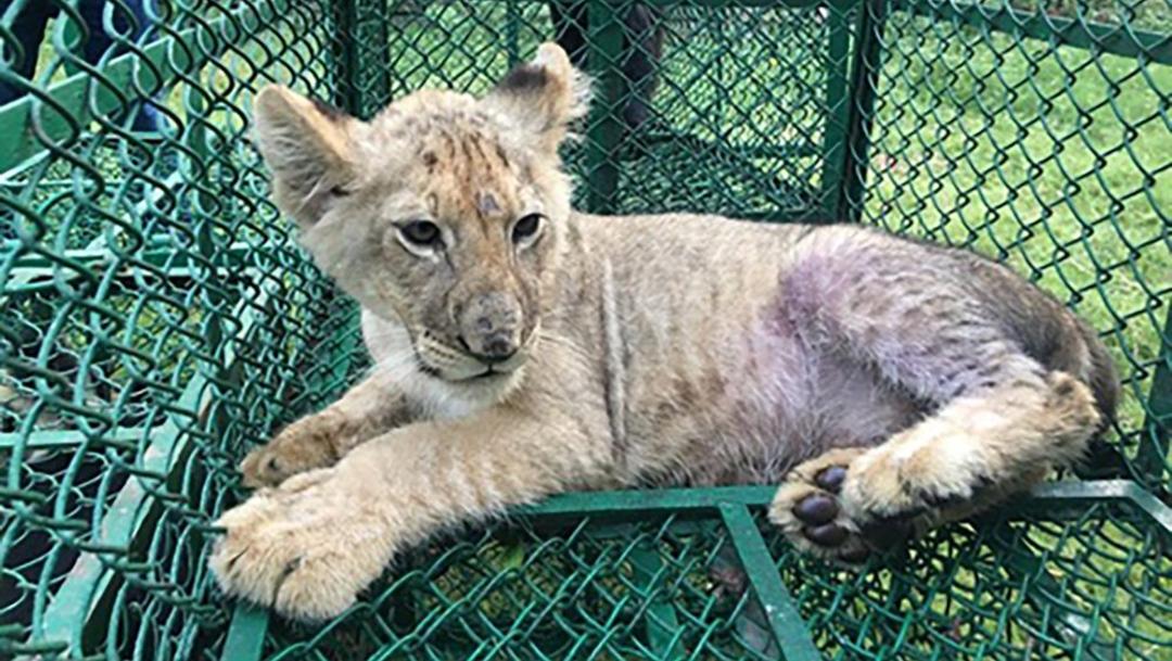 Foto: Cachorro de león localizado en la India como parte del operativo, 10 de julio de 2019 (AP)